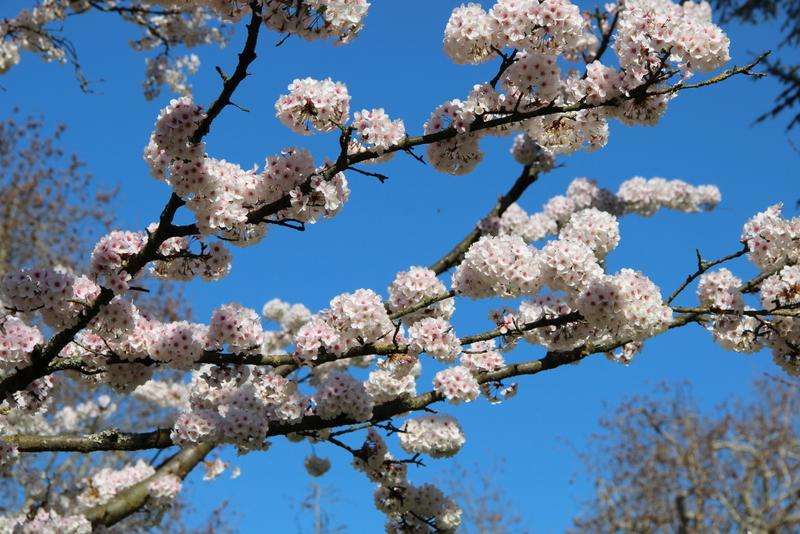 cerisier-mylittleroad