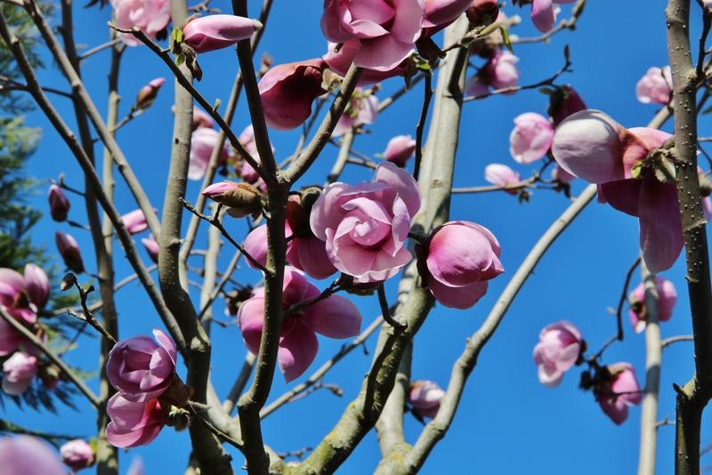 fleurs-roses-mylittleroad