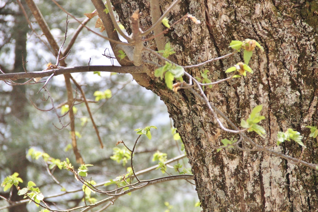 arbre-chataignier-montagne-ghisoni-corse