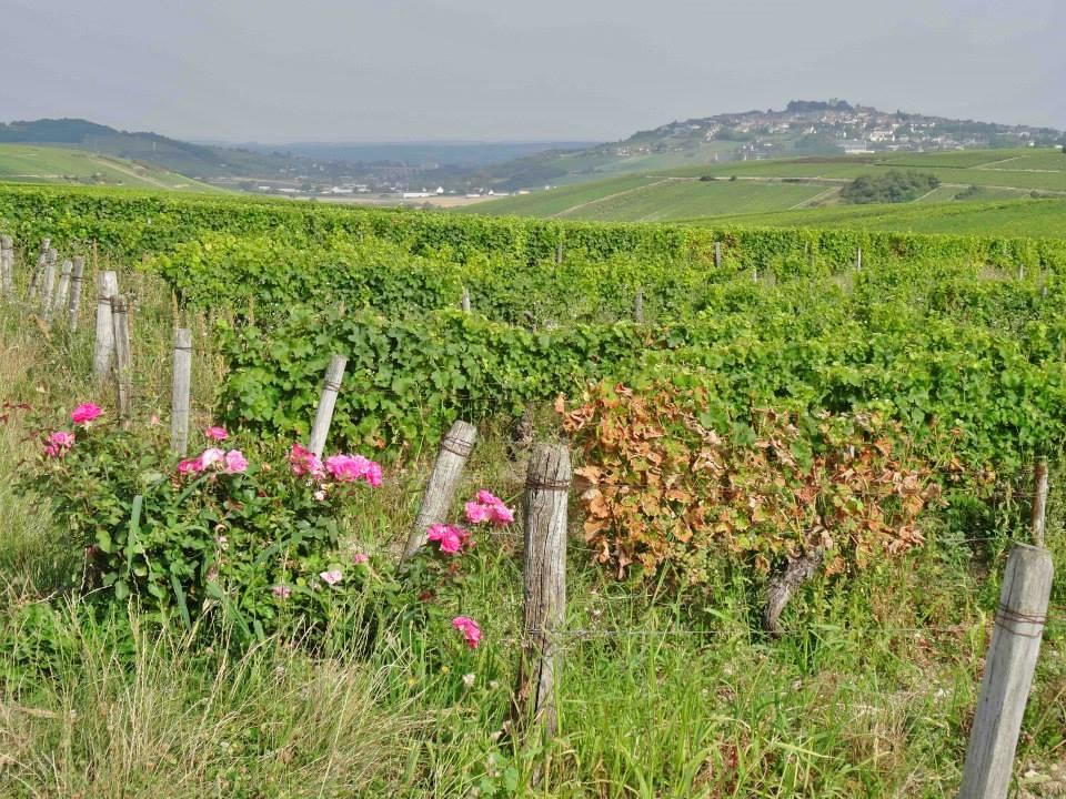 vignes-fleur