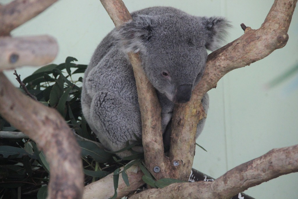 koala-animal-blue-mountains