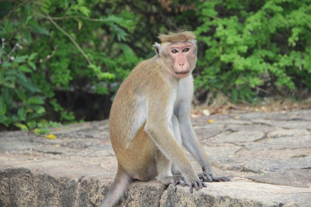 singe-assis-dambulla