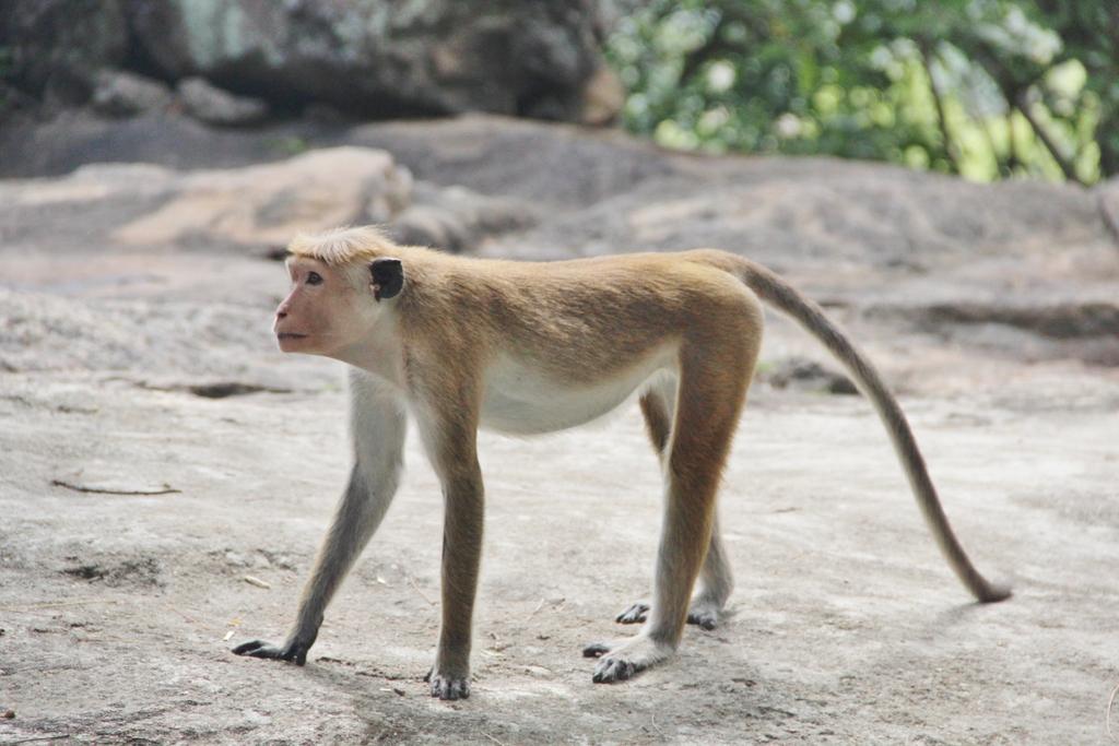 singe-majestueux-dambulla