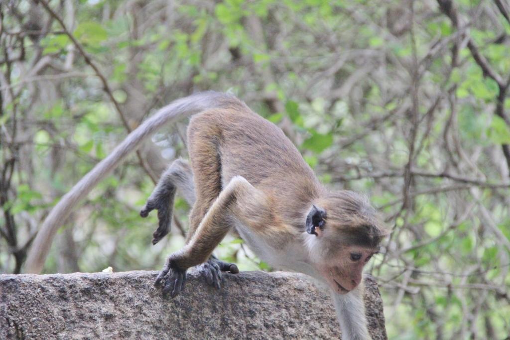 singe-sautant-dambulla