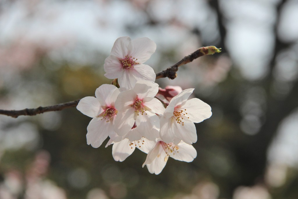 sakura-photo-mois