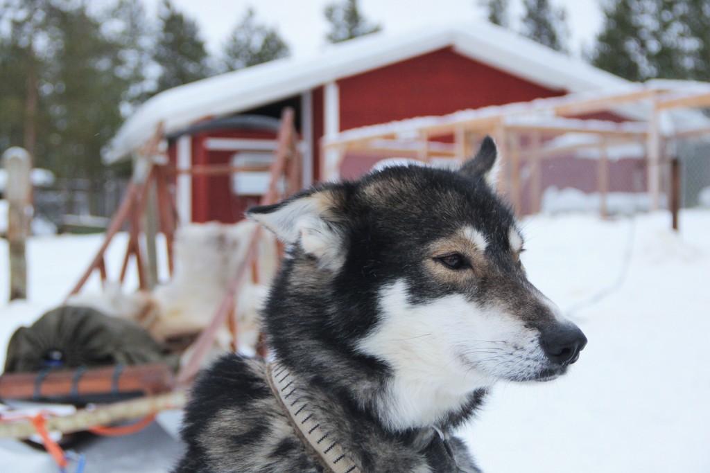 chien-husky-ivalo-laponie-mylittleroad