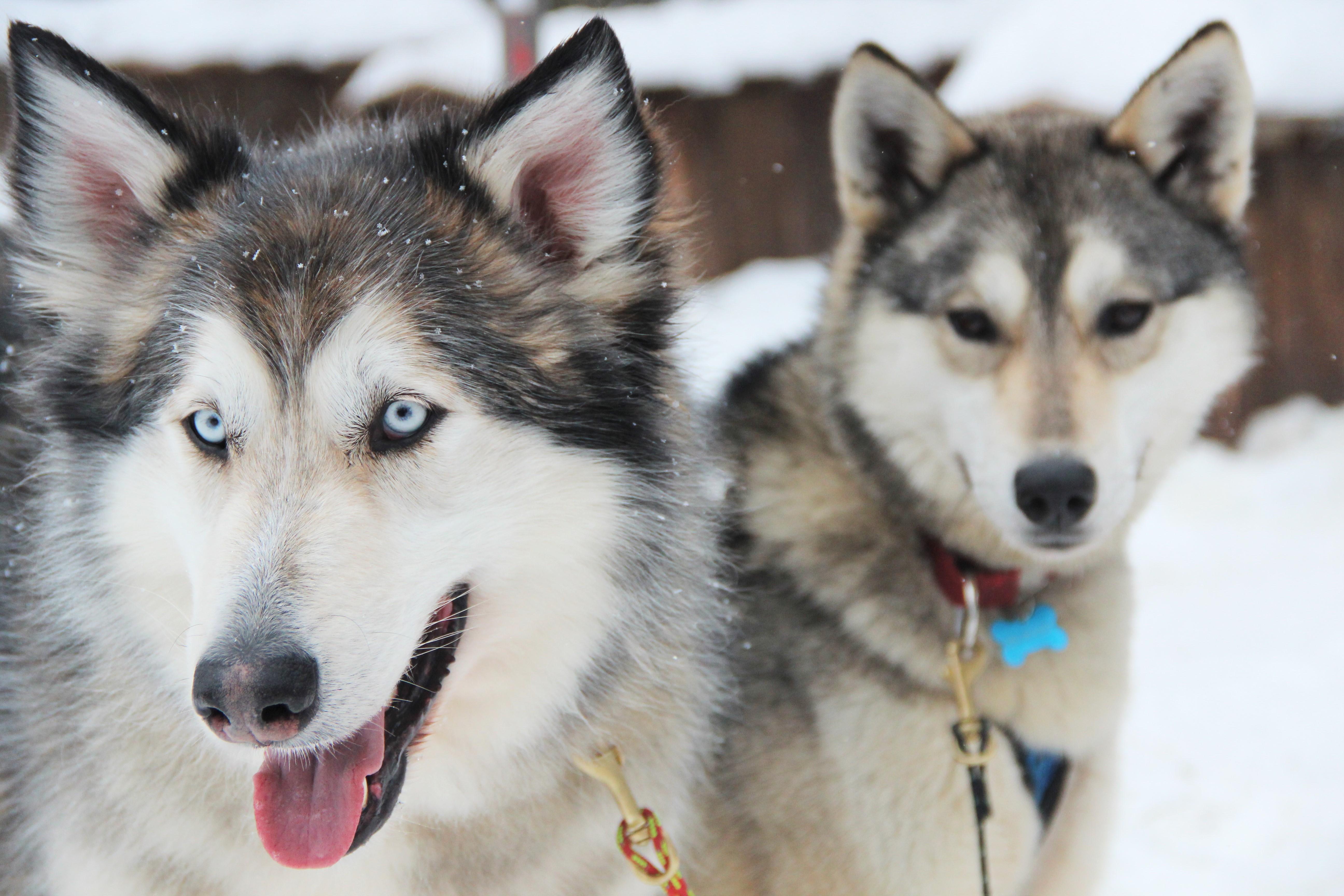 chien-ours-kiruna-suede-mylittleroad
