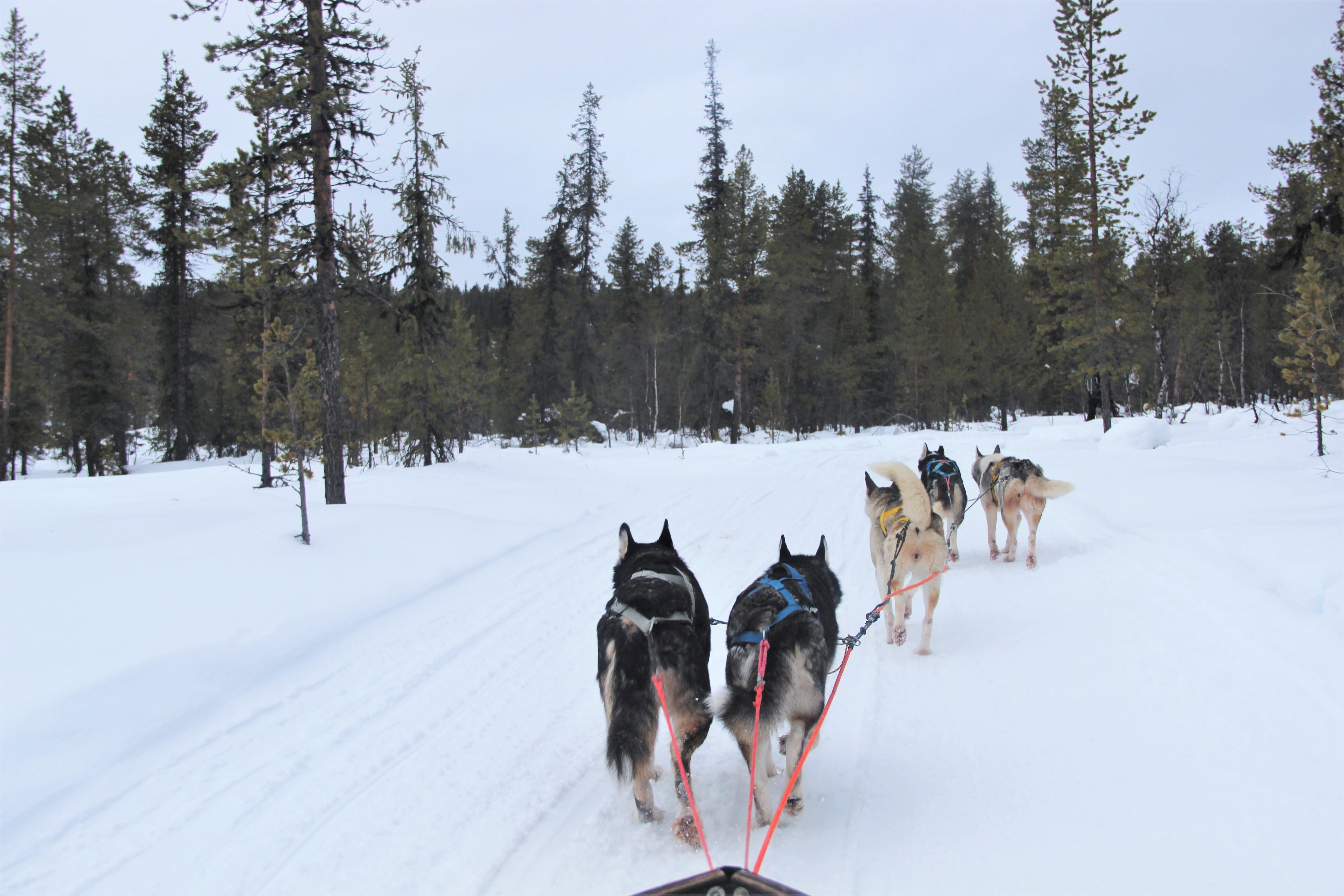 chiens-traineau-kiruna-suede-mylittleroad
