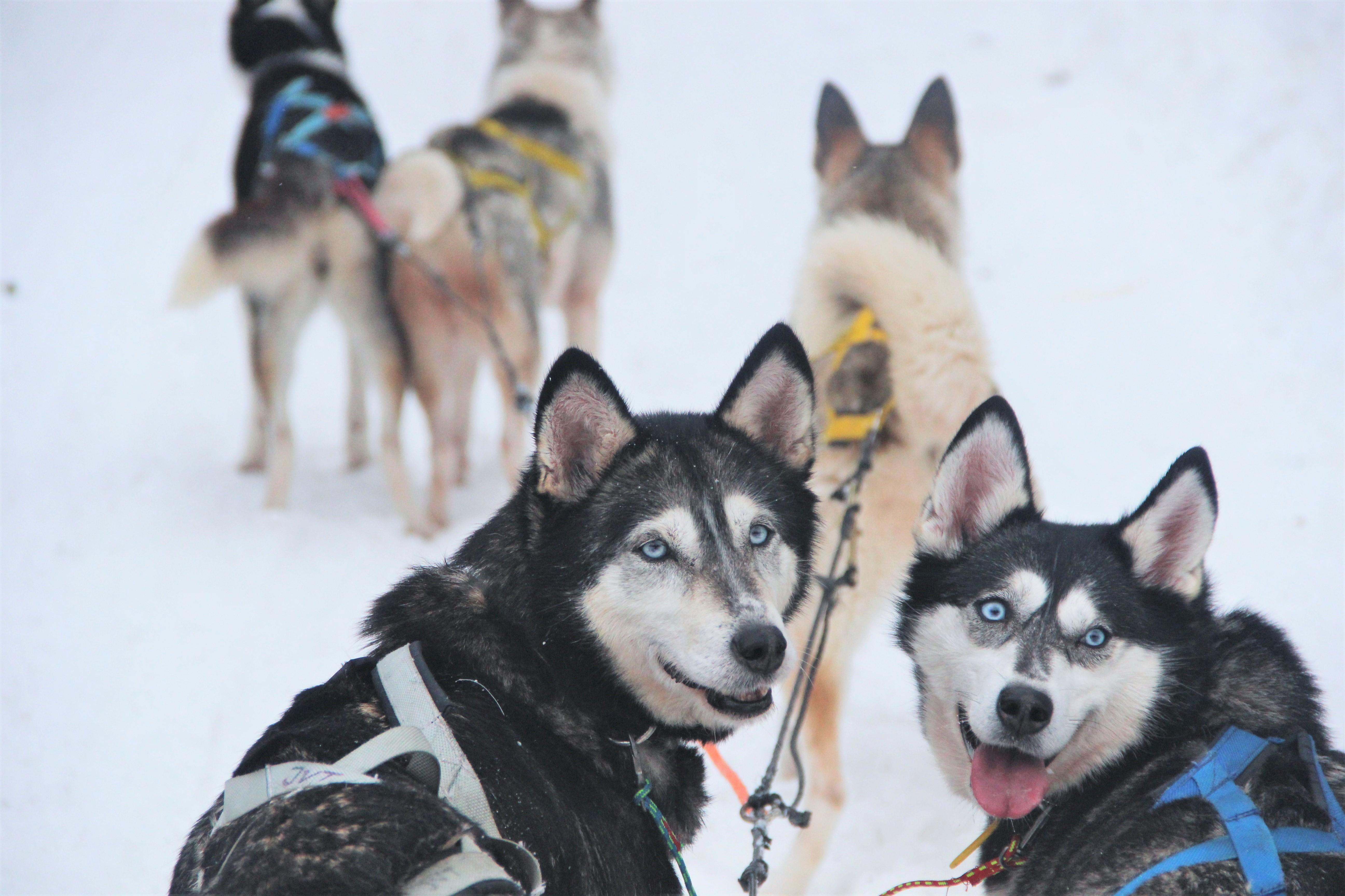 regards-chiens-traineaux-kiruna-suede-mylittleroad